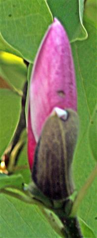 Eine (letzte) Magnolienblüte(Knospe) der Purpur-Magnolie(Magnolia liliiflora(Desr.))