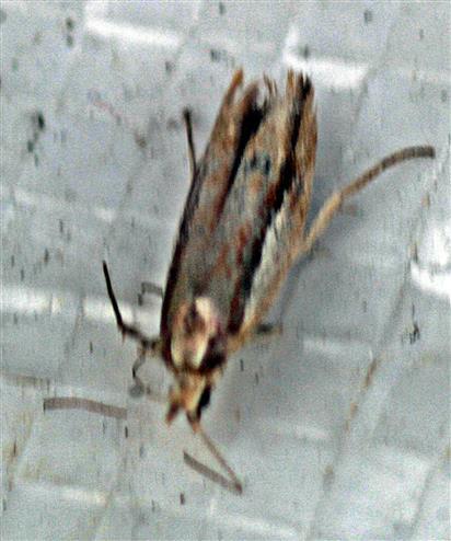 Kleidermotte(Tineola bisselliella(Hummel 1823))