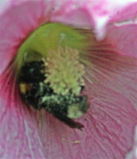 Dunkle Erdhummel(Bombus terrestris(L. 1758)) schutzsuchend über Nacht in einer Stockmalvenblüte(Alcea rosea(L.))