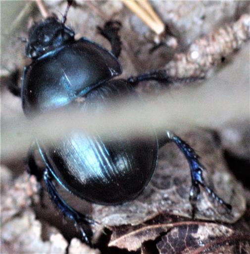 Gemeiner Mistkäfer(Geotrupes stercorarius(L. 1758))