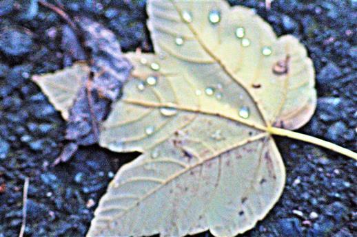 Niederschlag perlt auf Unterseite eines Berg-Ahornblattes(Acer pseudoplatanus(L.))