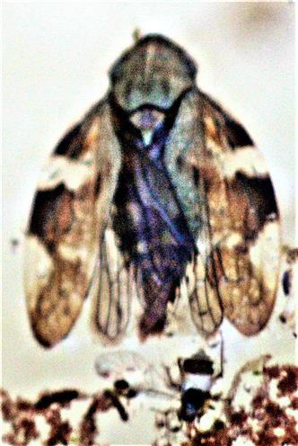 Wiesenschaumzikade(Philaenus spumarius(L. 1758)) sowie Gemeine Hartriegel-Gras-Blattlaus(Anoecia corni(Fabricius 1775))