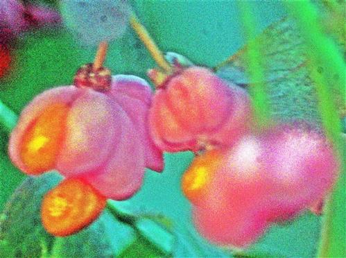 Pfaffenhütchen(Euonymus europaeus(L.)) mit Fruchtstand und Kapselfrucht