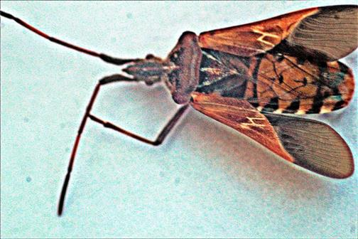 Amerikanische Kiefernwanze(Leptoglossus occidentalis(Heidemann 1910))