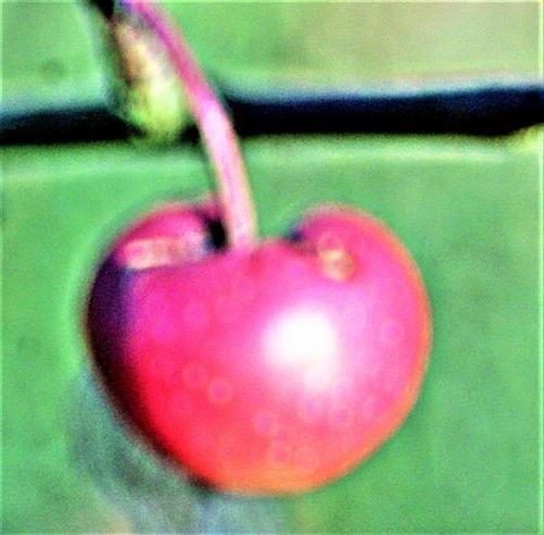 Ein diesjähriger Apfel eines jungen Apfelbaumes(Malus domestica(Bork.)) fast im