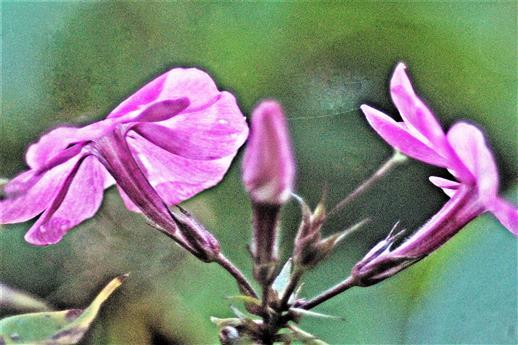Hoher Stauden-Phlox(Phlox paniculatum(L.))
