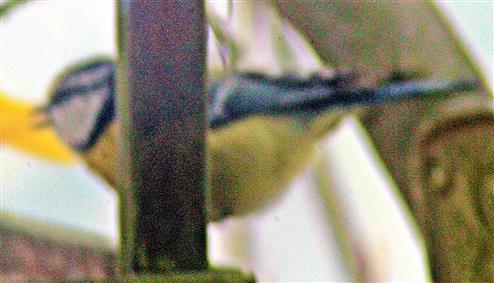 Blaumeise(Cyanistes caeruleus(L. 1758)) am Futterhaus