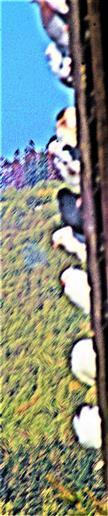 Haus- wie Stadttauben(Columba livia f. domestica) bei einem Taubenzüchter