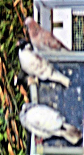 Haustauben(Columba livia f. domestica)