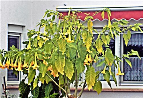 Engelstrompeten(Brugmansia(Pers.))
