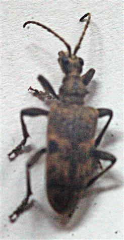 Schwarzfleckiger Zangenbock(Rhagium mordax(De Geer 1775))