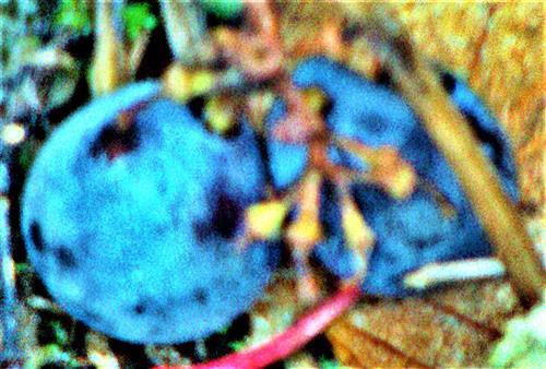 Amerikanische Weintrauben(Vitis) zwei Weinbeeren