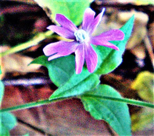 Blüte einer Roten Lichtnelke(Silene dioica(L.) Clairv.)