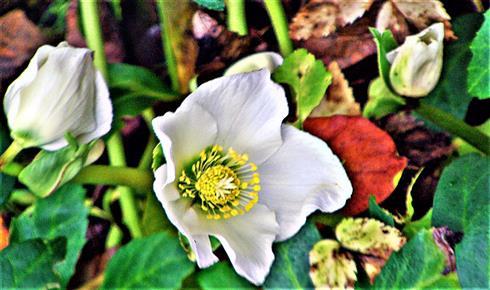 Blüte der Christ- oder Schneerose(Helleborus niger(L.))