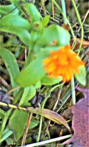 Ringelblume(Calendula officinalis(L.)) östlich der Vereinshütte der Imkerei Dietzhölze e.V.