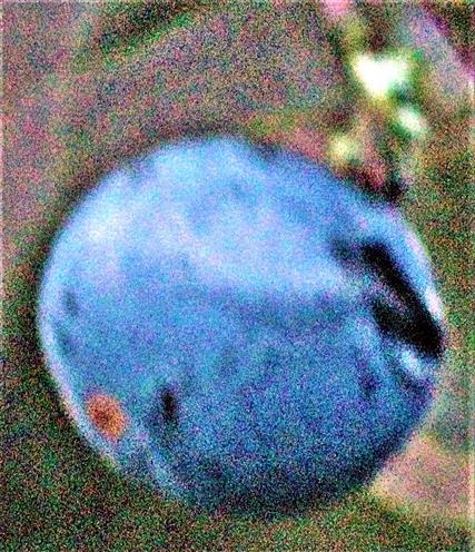 Steinfrucht eines Schlehdorns(Prunus spinosa(L.))