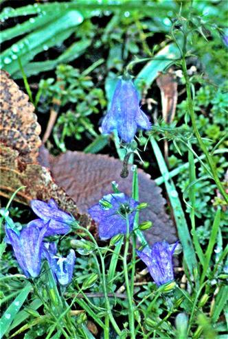 Rundblättrige Glockenblume(Campanula rotundifolia(L.))