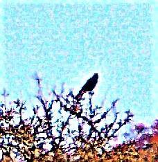 Saatkrähe(Corvus frugilegus(L. 1758)) auf einem Obstbaum im Feld