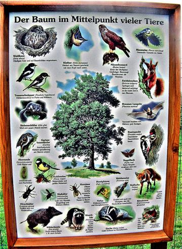 Schautafel Baum