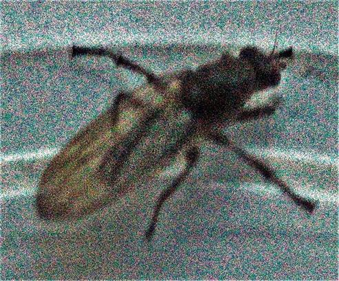 Dungfliege(Scathophaga furcata(Say 1823)) als