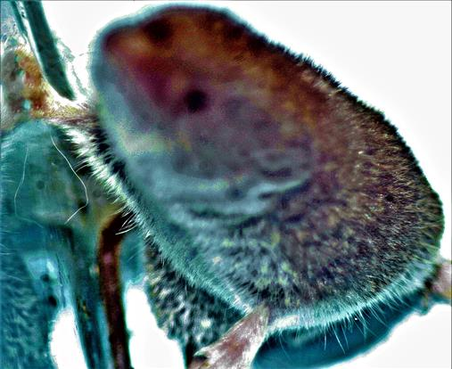 Hausspitzmaus(Crocidura russula(Hermann 1780))