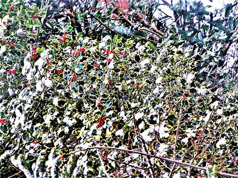 Europäische Stechpalme(Ilex aquifolium(L.)) fruchtend