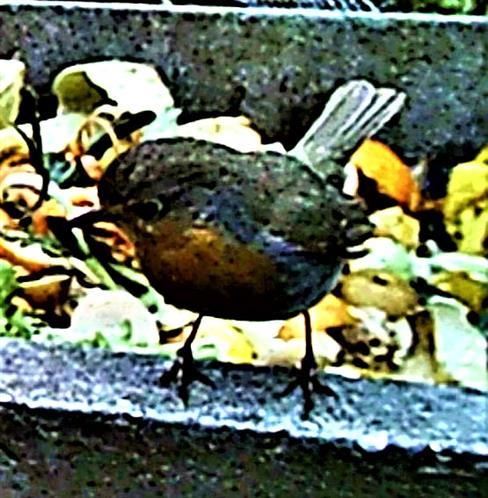 Rotkehlchen(Erithacus rubecula(L. 1758)) am Rande eines Komposthaufens