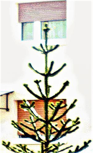 Spitze einer chilenischen Araukarie(Araucaria araucana(Molina)K.Koch)