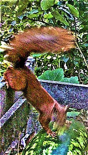 Eurasisches bzw. Europäisches Eichhörnchen(Sciurus vulgaris(L. 1758)) bislang noch ein seltener Gast