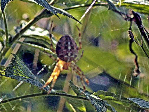 Gartenkreuzspinne(Araneaeus diadematus(Clerck 1757)) in ihrem Netz am Waldrand