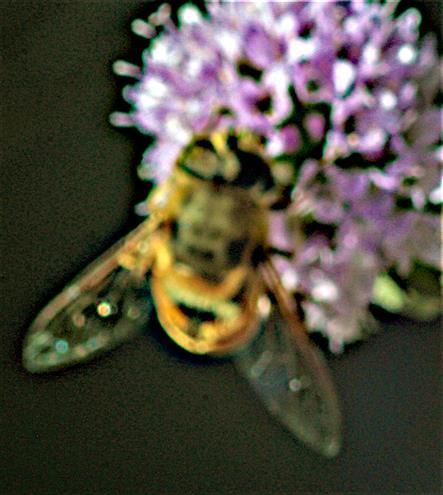 Mistbiene(Eristalis tenax(L. 1758)) beim Blütenbesuch