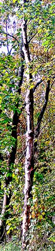 Abgestorbener Baum(Berg-Ahorn(Acer pseudoplatanus(L.))