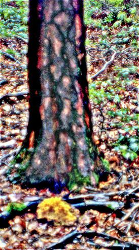 Standort der Krausen Glucke (vor einer Lärche(Larix decidua(MiLL.))