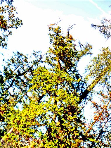 Ein typisch kahler Rotbuchenwipfel(Fagus sylvatica(L.))