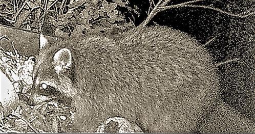 Waschbär(Procyon lotor(L. 1758)) auf einem Komposthaufen 001