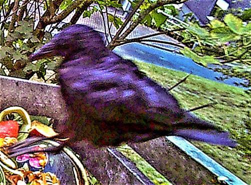 In den Komposthaufen springende Saatkrähe(Corvus frugilegus(L. 1758))