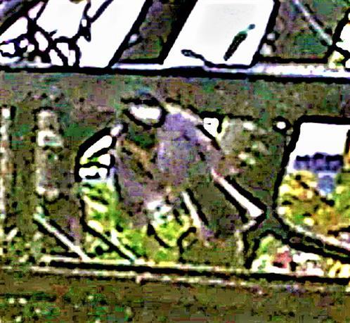 Kohlmeise(Parus major(L. 1758)) im Flug