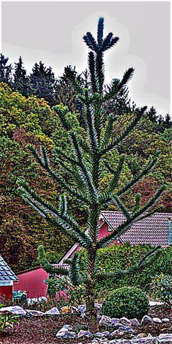 Chilenische Araukarie(Araucaria araucana(Molina)K. Koch)