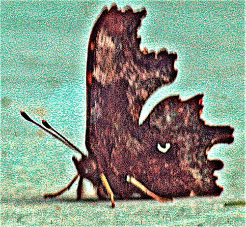C-Falter(Polygonia c-album(L. 1758))(dunkle Form) während einer kurzen Aufwärmphase auf einer Tischplatte in der Sonne