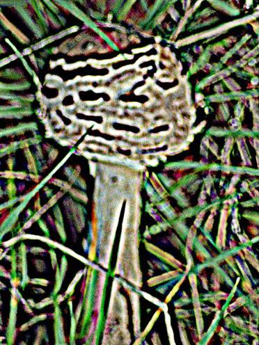 Junger Parasol bzw. Gemeiner Riesenschirmling(Macrolepiots procera(Scop. ; Fr.) Singer)