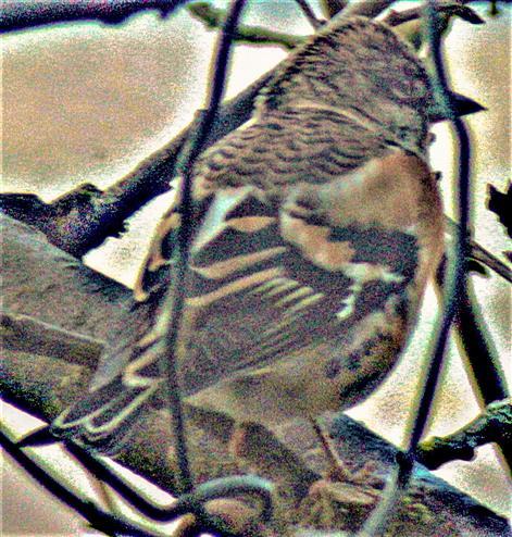 Bergfink(Fringilla montifringilla(L. 1758))(männlich) als Gast aus dem Norden