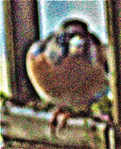 Bergfink(Fringilla montifringilla(L. 1758))(männlich) an einer Fütterung