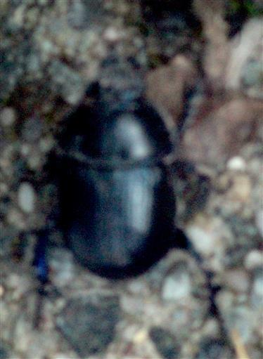 Mistkäfer(Geotrupes stercorarius(Latreille 1802) auf einer Steintreppe