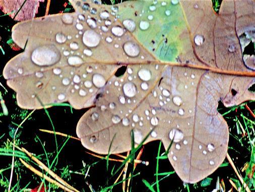 Morgentau auf einem Trauben-Eichenblatt(Quercus petraea(Mattuschka)Liebl.)