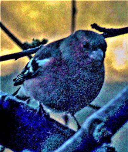 Männlicher Buchfink(Fringilla coelebs(L. 1758)) auf einem Pflaumenbaum