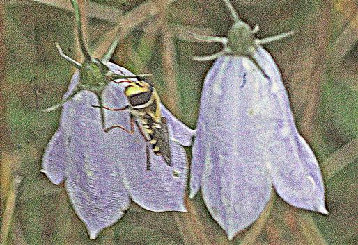 Gemeine Garten-Schwebfliege(Syrphus ribesii(L. 1758)) auf den Blüten einer Rundblättrigen Glockenblume(Campanula rotundifolia(L.)) ausharrend