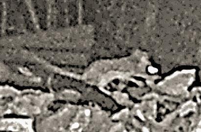 Waldmaus(Apodemus sylvaticus(L. 1758)) an einem Komposthaufen unterwegs