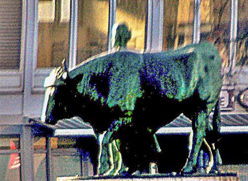 Landwirtin einen Stier führend
