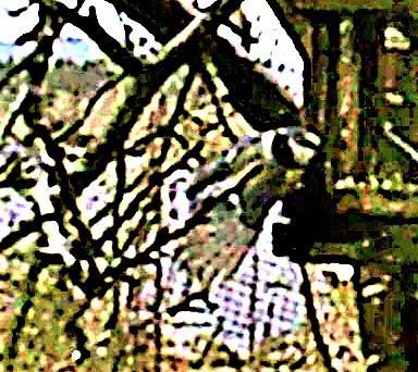 Blaumeise(Cyanistes caeruleus(L. 1758)) im Anflug an ein Vogelfutterhaus Januar 2020