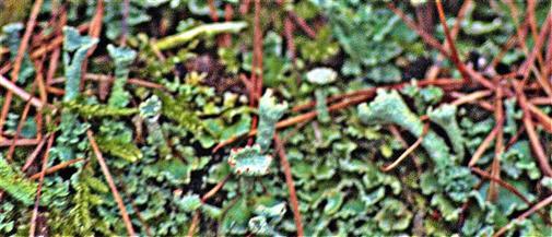 Echte Becherflechte(Cladonia pyxidata(L. )Hoffm.)) an einem Baumstumpf